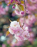 Sakura Flower Lizenzfreies Stockfoto