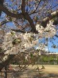 Sakura Flower royalty-vrije stock afbeeldingen