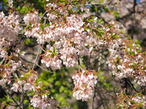 Sakura Flower Imagem de Stock Royalty Free