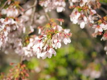 Sakura Flower Foto de Stock Royalty Free