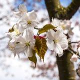 Sakura Flower Fotos de archivo