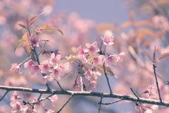 Sakura Flower Immagini Stock