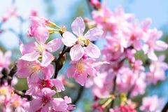 Sakura Flower Fotografie Stock