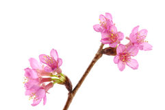 Sakura flower Royalty Free Stock Photos