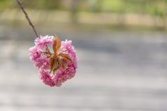 Sakura Flower Stock Afbeeldingen