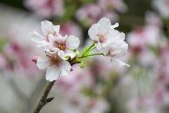 Sakura Flower Stockbild