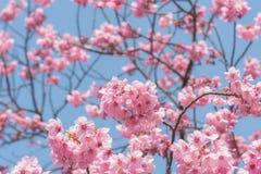 Sakura Flower royaltyfri bild