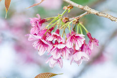 Sakura flower  on background Royalty Free Stock Photos