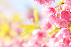 Sakura flower Stock Image
