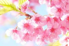 Sakura flower Stock Photos