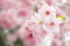 Sakura flower bloom blurry soft focus for dreamy concept backgro Royalty Free Stock Photo