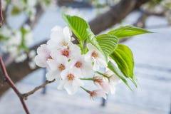 Sakura flower Royalty Free Stock Image