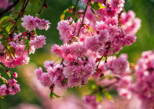 Sakura flower blossom in garden at springtime. Beautiful spring background with pink Sakura flowers closeup on a branch on the blurred background of blossoming stock photo