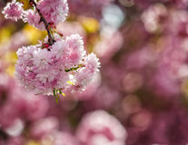 Sakura flower blossom in garden at springtime. Beautiful spring background with pink Sakura flowers closeup on a branch on the blurred background of blossoming stock images
