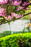 Sakura flower blossom in garden at springtime. Beautiful spring background with pink Sakura flowers closeup on a branch on the blurred background of blossoming royalty free stock photography