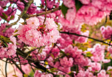 Sakura flower blossom in garden at springtime. Beautiful spring background with pink Sakura flowers closeup on a branch on the blurred background of blossoming royalty free stock photo