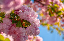 Sakura flower blossom in garden at springtime. Beautiful spring background. pink Sakura flowers closeup on a branch. blurred background of blossoming garden in royalty free stock photography