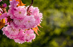 Sakura flower blossom in garden at springtime. Beautiful spring background. pink Sakura flowers closeup on a branch. blurred background of blossoming garden in royalty free stock photos
