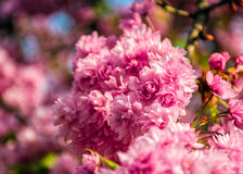 Sakura flower blossom in garden at springtime. Beautiful spring background. pink Sakura flowers closeup on a branch. blurred background of blossoming garden in stock image