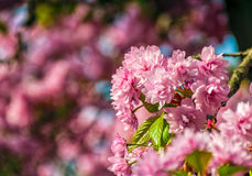 Sakura flower blossom in garden at springtime. Beautiful spring background. pink Sakura flowers closeup on a branch. blurred background of blossoming garden in stock photos