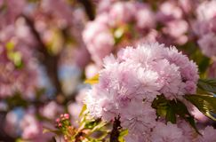 Sakura flower blossom in garden at springtime. Pink Sakura flowers closeup on a branch. beautiful blurred background of blossoming garden in springtime Stock Images