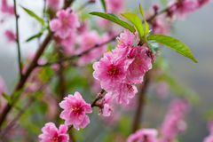 Sakura flower blossom Royalty Free Stock Images