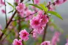 Sakura flower blossom Royalty Free Stock Images