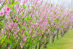 Sakura flower blossom Stock Photos