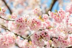 Sakura Flower. Blossom of pink Sakura in Ueno garden Royalty Free Stock Images