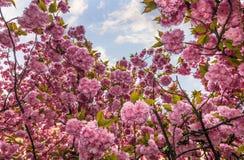 Sakura flower blossom in springtime. Beautiful springtime background. Sakura flowers blossom in garden stock images