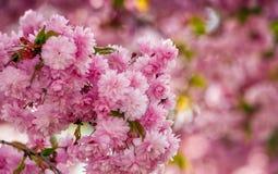 Sakura flower blossom in springtime. Beautiful springtime background. Sakura flowers blossom in garden stock photo