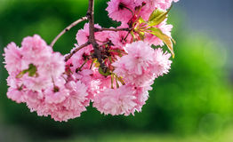 Sakura flower blossom in springtime. Beautiful springtime background. Sakura flowers blossom in garden royalty free stock image