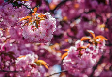 Sakura flower blossom in springtime. Beautiful springtime background. Sakura flowers blossom in garden Royalty Free Stock Photography