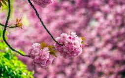 Sakura flower blossom in springtime. Beautiful springtime closeup background. Sakura flower blossom in garden royalty free stock photos