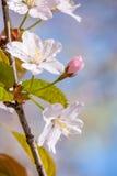 Sakura flower bud in spring Royalty Free Stock Photos