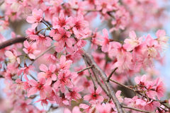 Sakura Flower Royalty Free Stock Photo