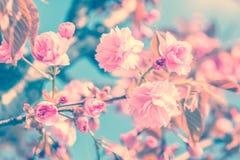 Sakura Flower Cherry Blossom arkivbilder