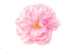 Sakura Flower Cherry Blossom Arkivfoton