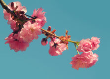 Sakura Flower or Cherry Blossom Royalty Free Stock Image