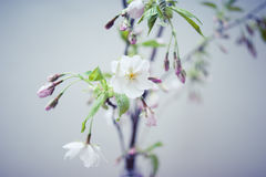 Sakura Flower or Cherry Blossom. With blue sky,vintage filter Royalty Free Stock Image