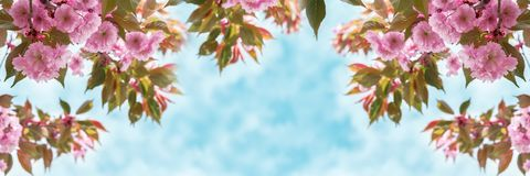 Sakura flower cherry blossom closeup over the sky panoramic. Greeting card template. Shallow depth. Soft toned. Spring nature back Royalty Free Stock Photo