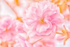 Sakura flower cherry blossom. Stock Photos