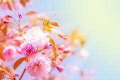 Sakura flower cherry blossom. Stock Images