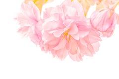 Sakura flower cherry blossom. Royalty Free Stock Photo