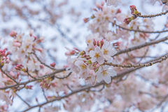 Sakura Flower or Cherry Blossom  in public park Fukuoka Japan Royalty Free Stock Images