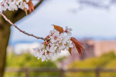 Sakura Flower or Cherry Blossom  in public park Fukuoka Japan Royalty Free Stock Photography