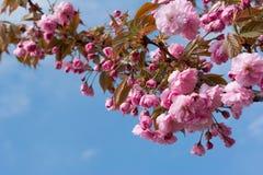 Sakura Flower or Cherry Blossom Stock Photo