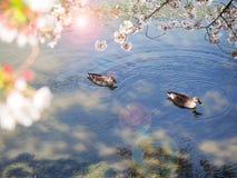 Sakura flower or cherry blossom royalty free stock images