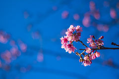Pink sakura. Sakura is blooming pink flowers, full of early with strong sunlight Royalty Free Stock Photography