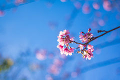 Pink sakura. Sakura is blooming pink flowers, full of early with strong sunlight Stock Photo